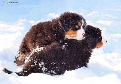 R-Wurf - Welpe im Schnee